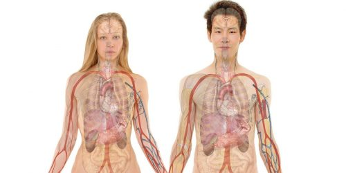 Anatomie viscérale ostéopathie